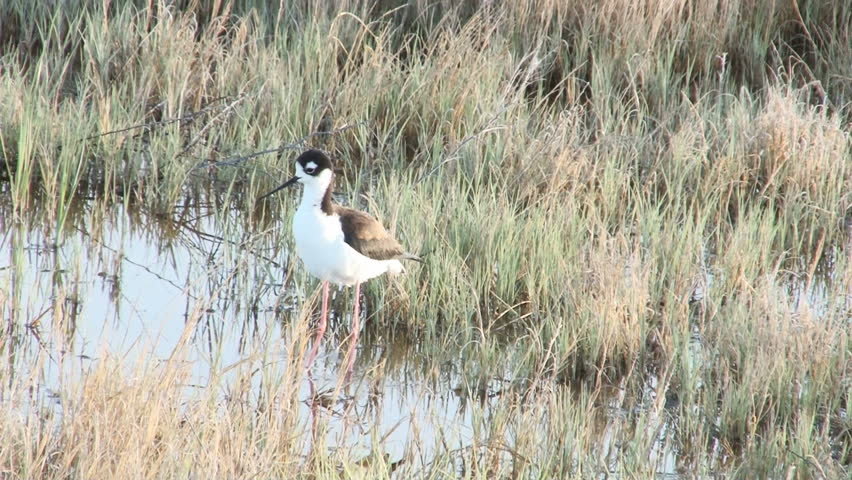 Black-Necked Stilt foraging in the shallows