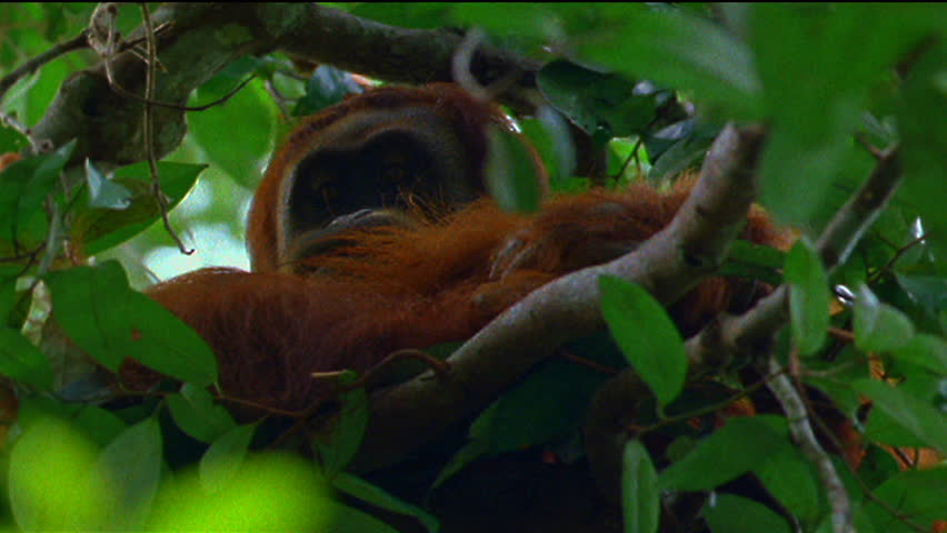 Orangutan | Shutterstock HD Video #3542456