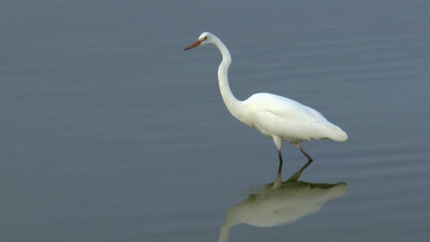 Egret, a white heron with white plumage, stands still in rippling water, snaps long neck downward, snatches insect in beak. 1080p