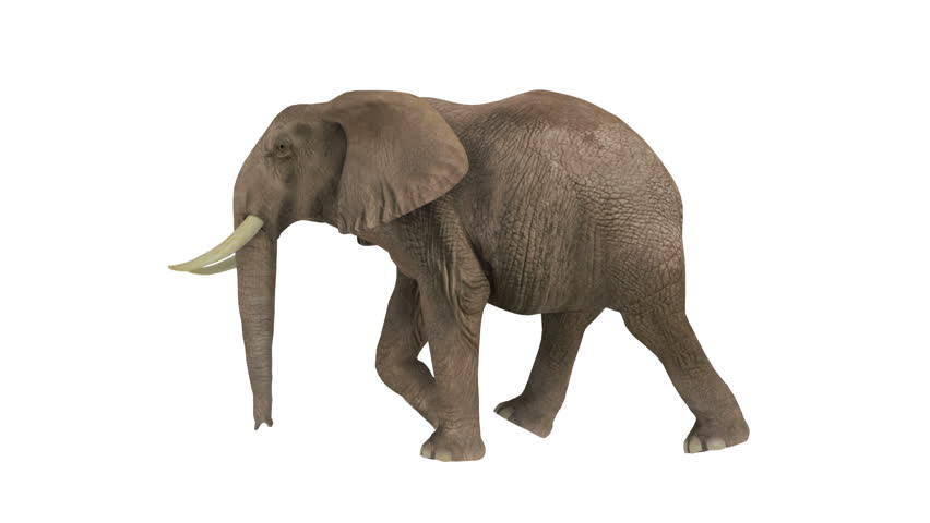 elephant walking on a white background stock footage video