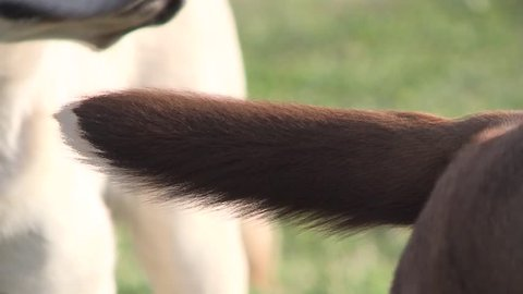 CLOSE UP OF HAPPY DOGS TAILS WAGGING IN HIGH DEFINITION 1080