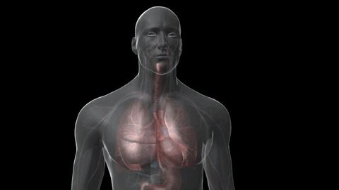 Anterior front view of 3D perspex male breathing and heart beating  showing cardiovascular and respiratory system