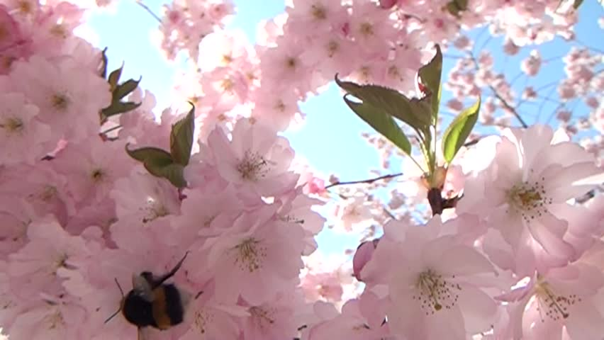 Flight of the Bumblebee in slow motion in flowers.