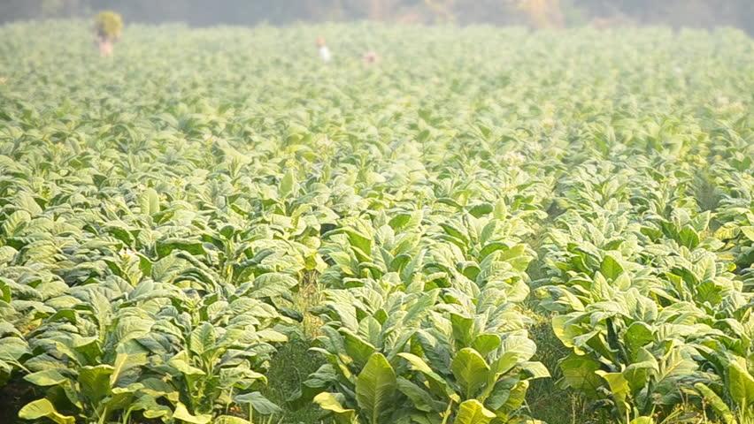 tobacco plant and farmer remove tobacco leaf form country farm