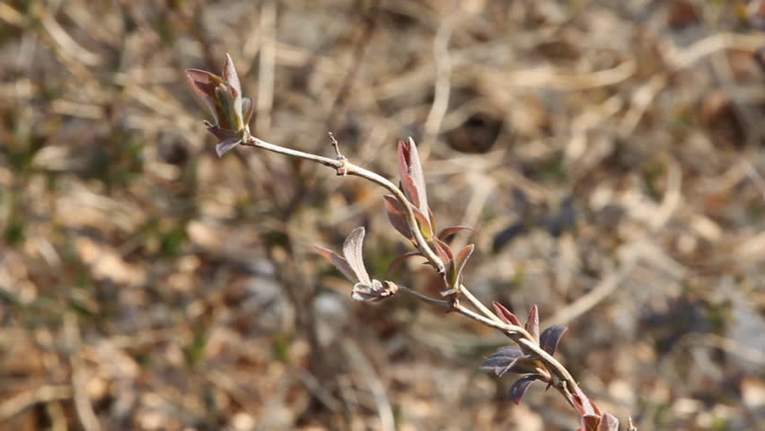 Leaves budding from a shrub, waving in the wind. Sign of early spring, plant development is a few weeks later this year due to extreme cold.