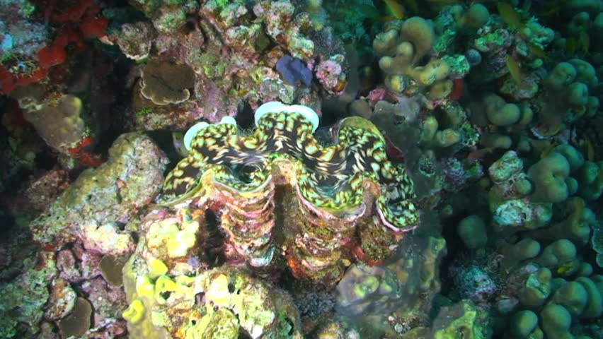 Giant clam, Tridacna species, Papua New Guinea, Milne Bay