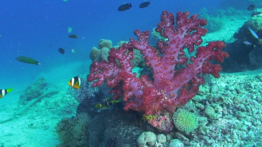 Clarke's anemonefish, Amphiprion clarkii and Tree coral, Dendronephthya species, Papua New Guinea, Milne Bay