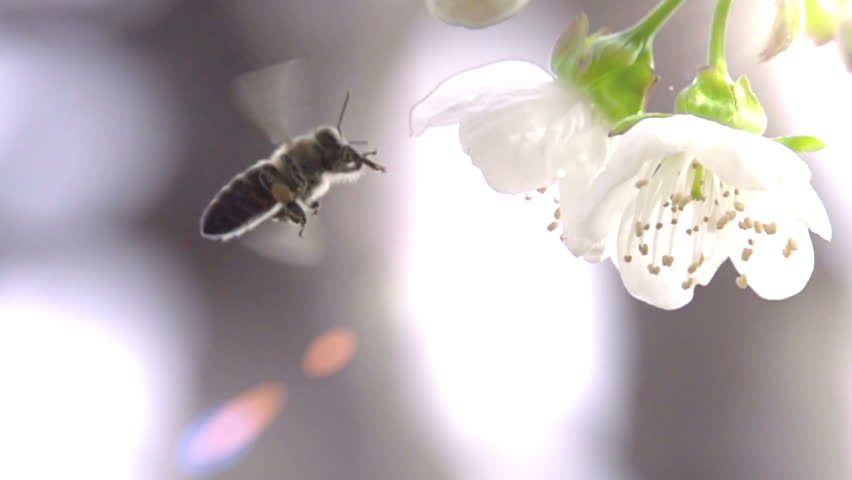 Bee and Flower. Slow Motion at a rate of 480 fps. Bee flower hangs in front of cherry and sits on it