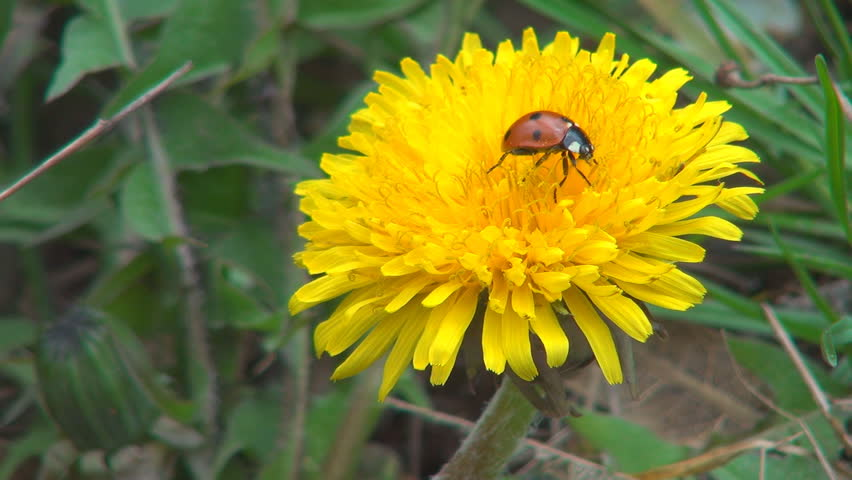 Ladybug Walking on Dandelion Flower and Falling Down, Macro, Field, Meadow, Lawn