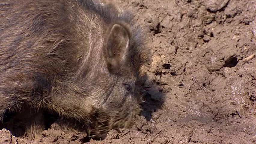 European wild boar (sus scrofa)  in mud - close up. Wild boar are omnivorous scavengers, eating almost anything they come across.