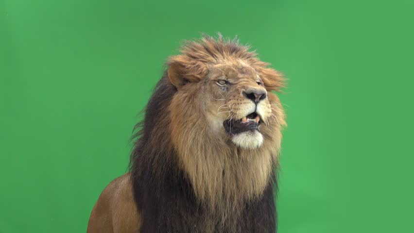 Slow Motion of a Lion roaring in front of a green key #3811646