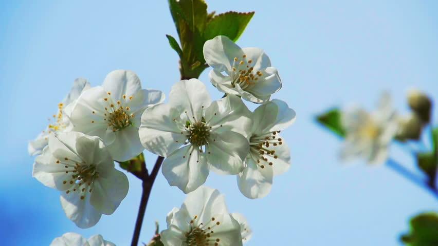 Cherry Blossom   Shutterstock HD Video #3813386