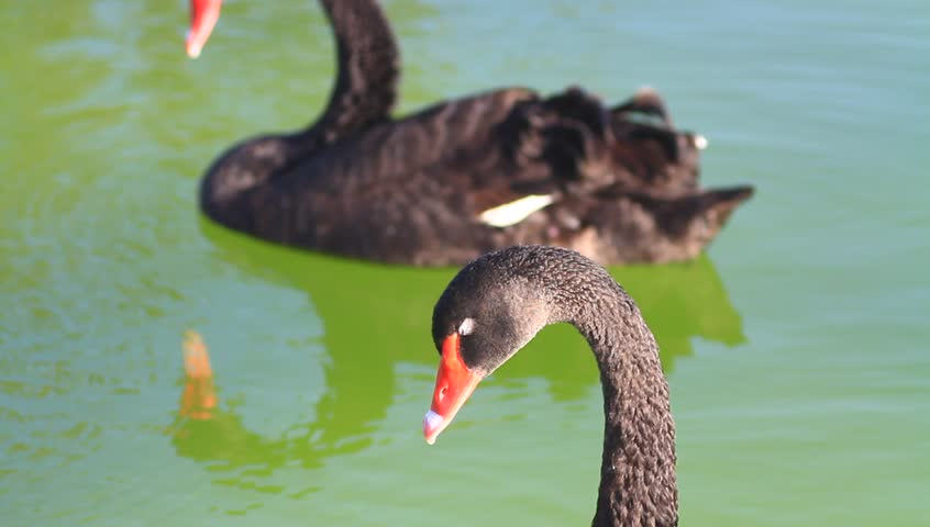Closeup of swan casually looking around. Black swans swimming in the pond. 135mm f2.0
