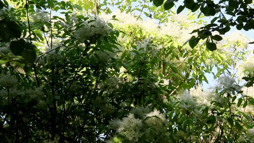 Elderflower ...