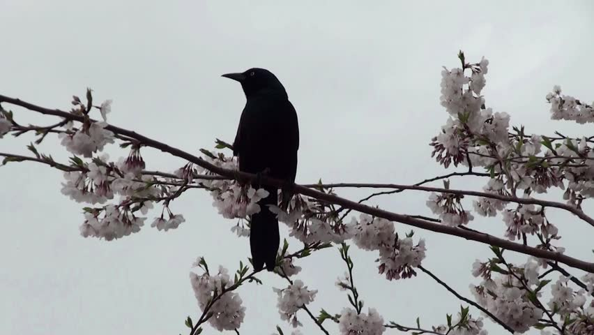 Brewer's Blackbird at the flowering cherry tree. Roosevelt Island, NYC