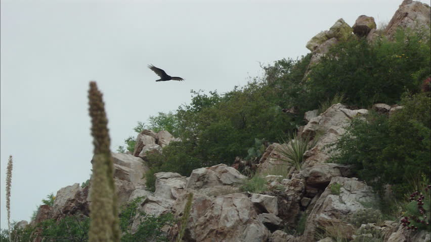 Vulture flies in the air