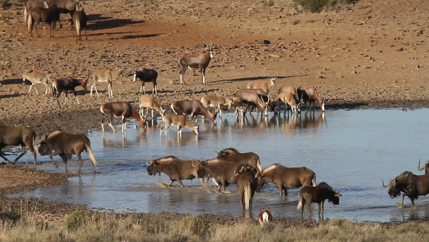 Black wildebeest and blesbok antelopes gathering at a waterhole, South Africa