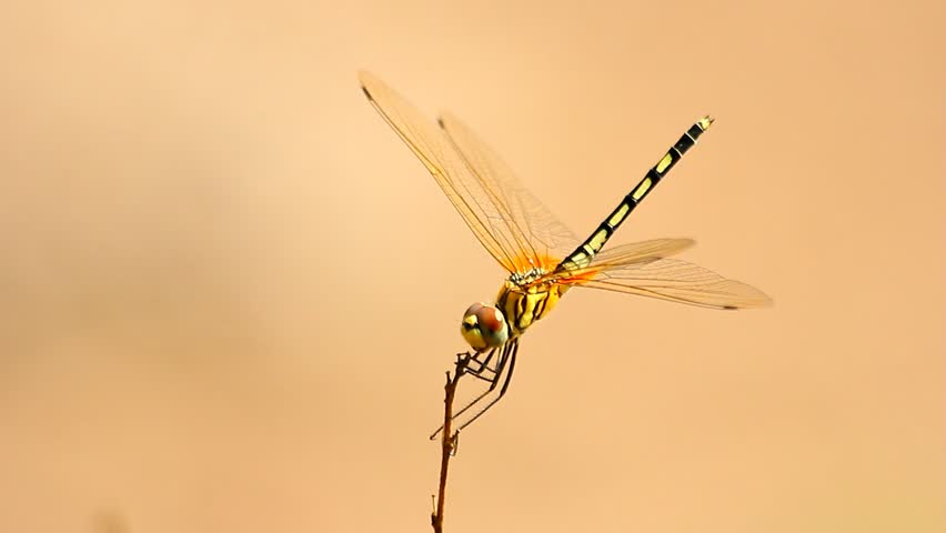 Yellow dragonfly on the branch.