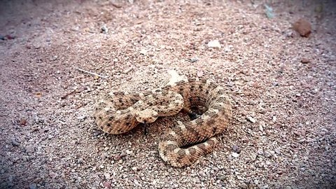 A Sonoran Desert Sidewinder Rattlesnake (Crotalus cerastes cercobombus) rattling and winding across sand in Arizona, USA.