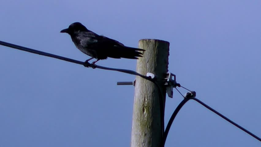Bird on Telegraph Pole, squawks and then flies away - With Audio