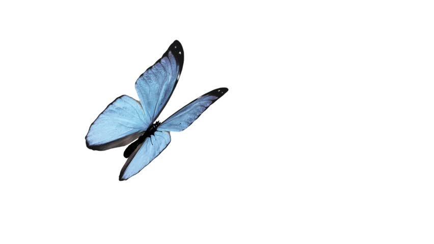 Butterfly Animation Loop Flapping Its Wings With Cyclical Alpha Channel Stock Footage Video 4028386