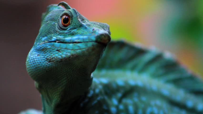 Plumed Basilisk, Bright Green Lizard - Extreme Close Up