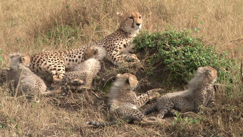 cheetah and babies.