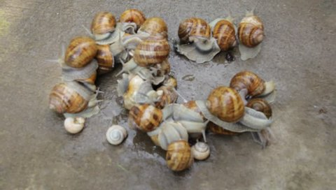 Group snails