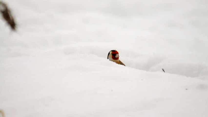Beautiful single goldfinch in snow in winter | Shutterstock HD Video #4149406