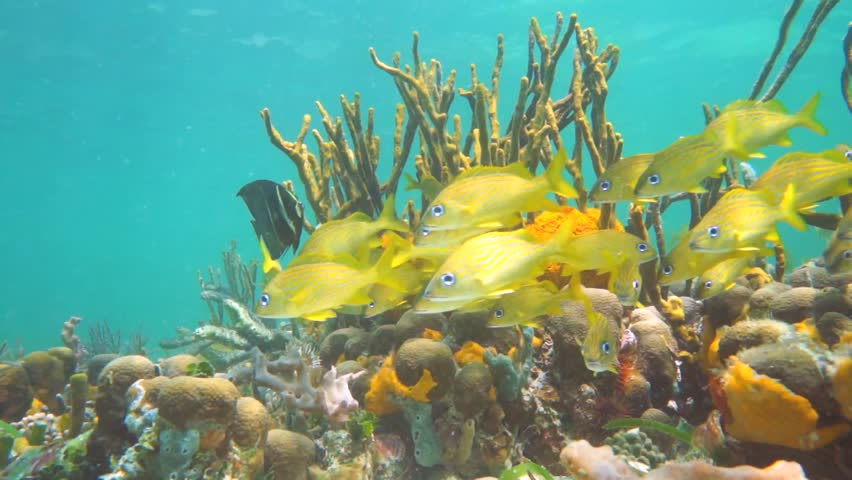Shoal of tropical fish in a colorful coral reef, Caribbean sea, Mexico