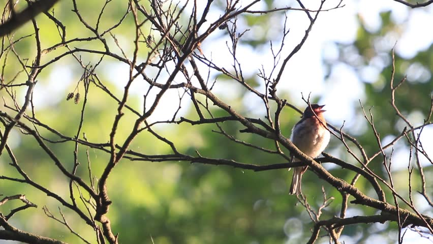 Beautiful little bird singing in the morning. Full HD footage of little nightingale. | Shutterstock HD Video #4163353