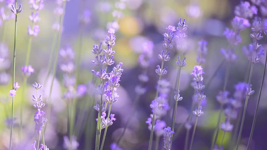 Lavender. Growing Lavender Flower closeup. Field
