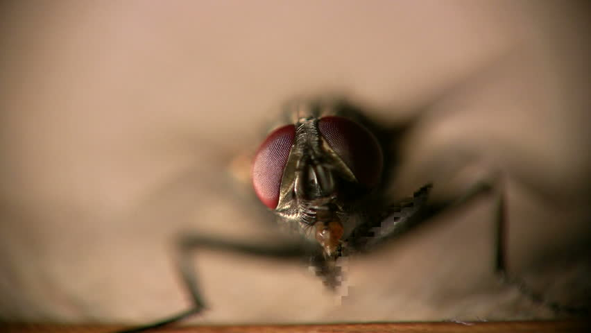 macro clip of housefly cleaning its eyes with its legs in amazing detail