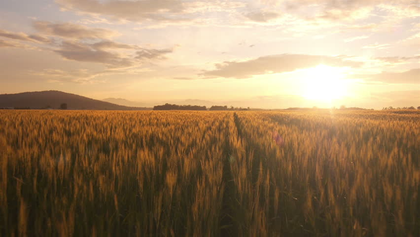 AERIAL: Flight over the wheat field in sunset #4190908