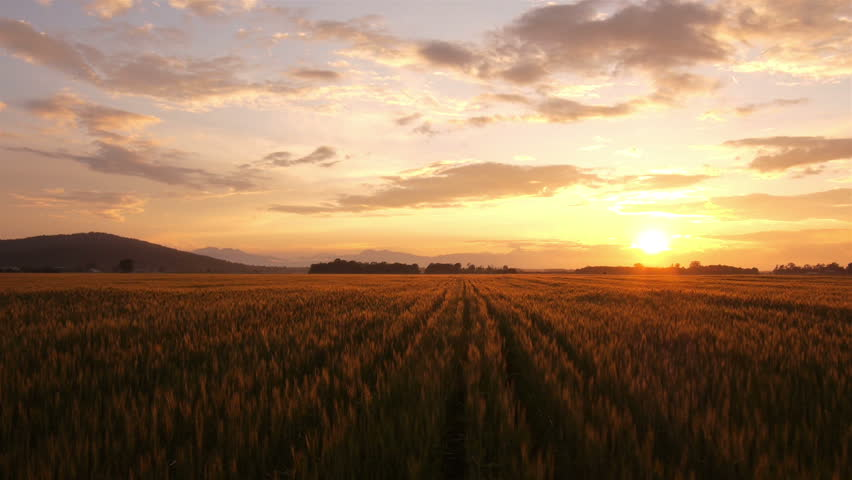 AERIAL: Flying over golden wheat field at beautiful summer sunset. Yellow wheat swaying in light breeze at magical sunrise in early autumn.