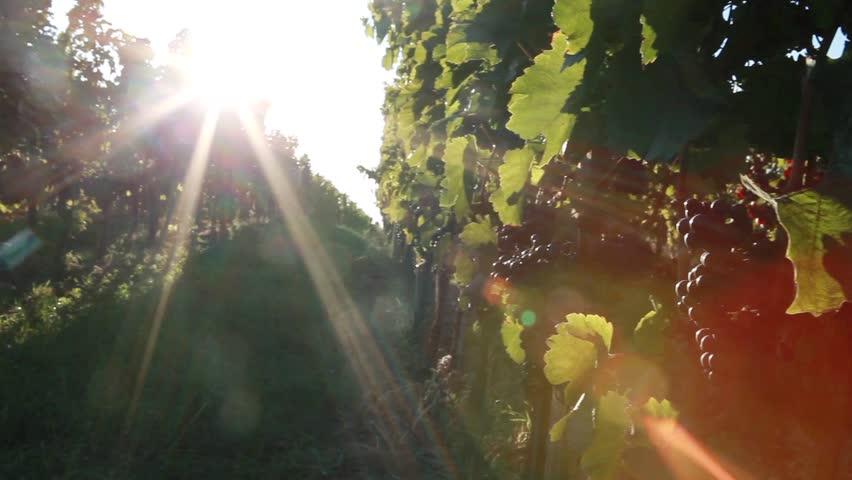 Blaufrankisch grapes on a vine in Burgenland, Austria