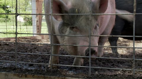 Three clips of Vietnamese Potbellied Pigs on a farm in the USA.