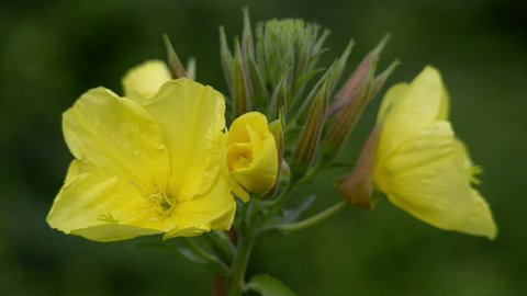 Four evening primrose (oenothera biennis) open up their blossoms in time lapse (quick).