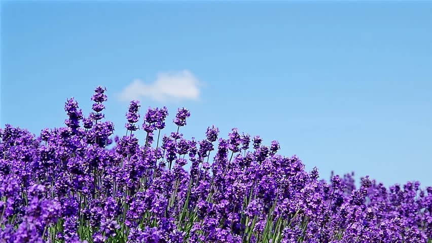 Splendid Lavender Garden Stock Footage Video  Shutterstock With Foxy Lavender Garden In A Soft Breeze With Endearing St George Gardens Family Club Also Gardening Naturally In Addition Garden Swing Parts And Madison Square Garden Capacity As Well As Caleta Gardens Website Additionally Road House Covent Garden From Shutterstockcom With   Foxy Lavender Garden Stock Footage Video  Shutterstock With Endearing Lavender Garden In A Soft Breeze And Splendid St George Gardens Family Club Also Gardening Naturally In Addition Garden Swing Parts From Shutterstockcom