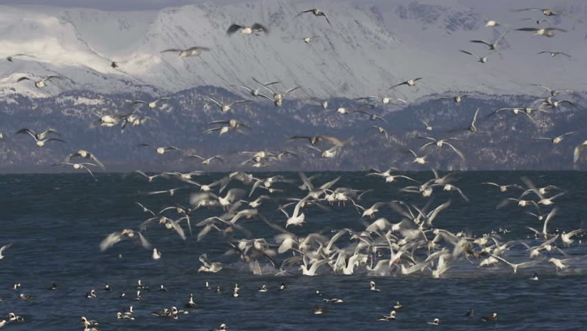 Busy mass of seagulls and ducks wheeling and diving into the icy water of