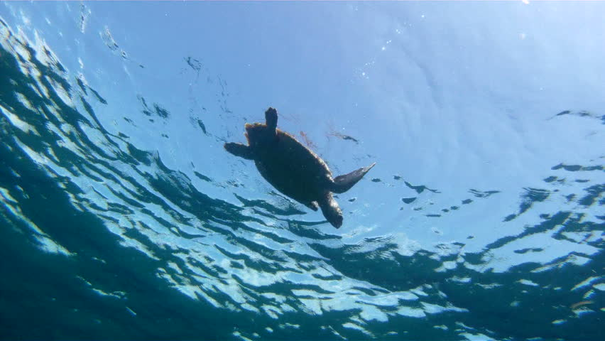 Underwater shot of a Sea Turtle Swimming From The Surface | Shutterstock HD Video #4358786