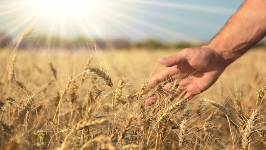 Summer. Sunny day. Field of ripe wheat. Man's hand and spikelets | Shutterstock HD Video #4365056