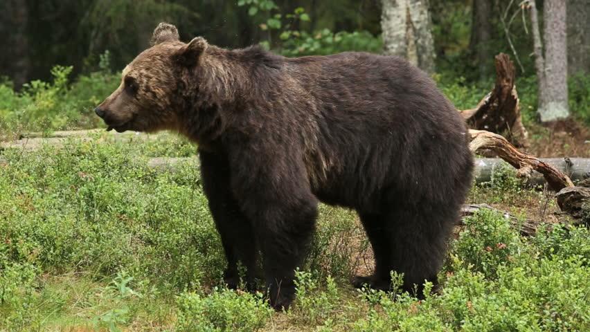 Brown Bear walking in forest feeding on black berry