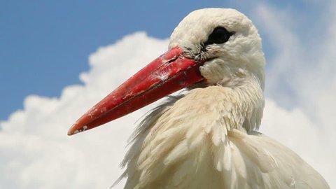 Stork head and beak close up shot. Cloudy background