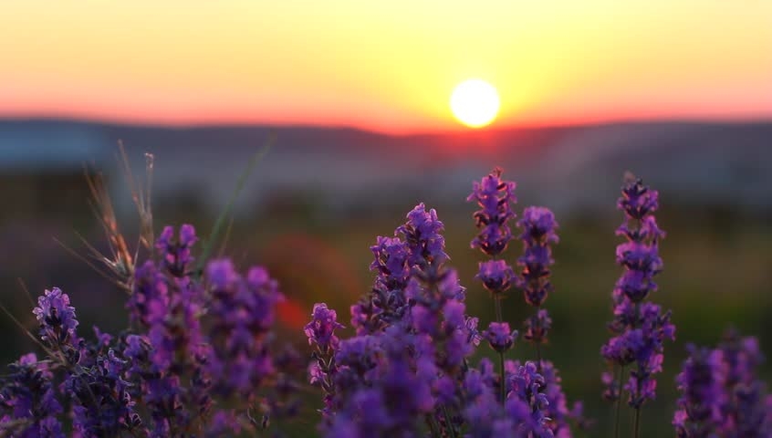 Closeup of lavender plants in a field at sunset