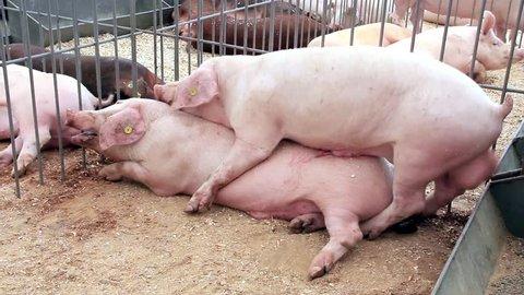 Pigs have sex on livestock farm. Pig farming