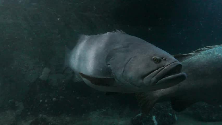 Big tropical fish floating in an aquarium   Shutterstock HD Video #4481486