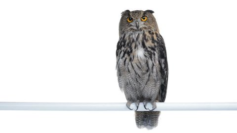 Eurasian eagle owl perched and looking around