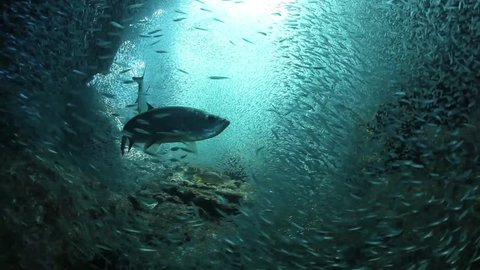 Small, silvery silversides school together in a famous dive site called Devil's Grotto off Grand Cayman Island.  Predators, such as Tarpon, cruise through the grotto waiting for twilight to hunt.