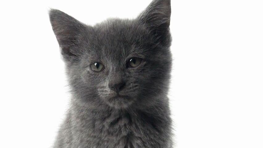 Cute Baby Tabby American Short Hair Kitten On White